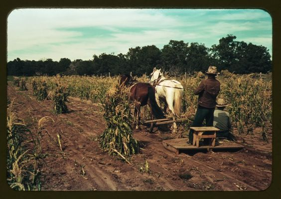 Gathering Corn In The field, Pie Town, New Mexico