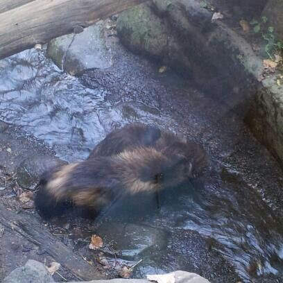 Baby Wolverines at MN Zoo