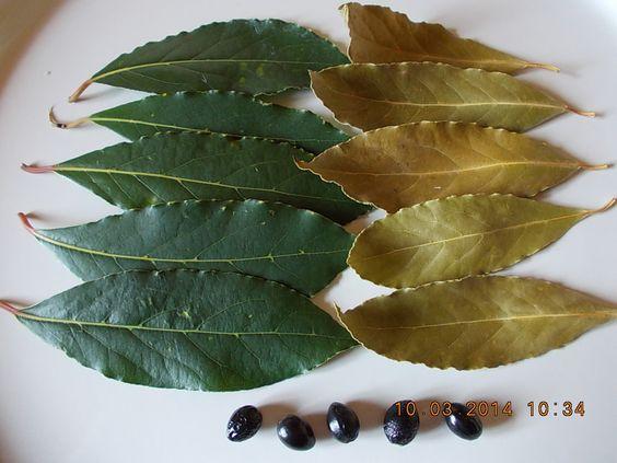 Vendo foglie di alloro prodotte in Sicilia coltivate in modo biologico e naturale senza l'ausilio di alcun prodotto chimico .(Essiccate al sole).  L'inserzione si riferisce ad 1 confezione/busta di cm.20Xcm.30 di 50 gr. composta da circa 160 foglie di alloro ,essiccate al sole , di prima scelta.  (www.aplcefalu.com ) MAIL:antoninori@libero.it