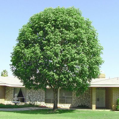 Shamel Ash For Sale Fast Growing Desert Trees Moon