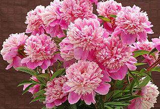 Pink Peony 5