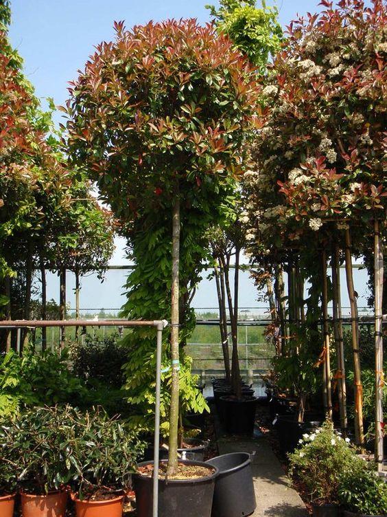 Photinia fraseri 'Red Robin Hochstamm' / Glanzmispel 'Red Robin Hochstamm' – die schon als Heckenpflanze sehr beliebte Glanzmispel hier als Hochstamm mit Kugelkrone. Tolle Blüte und besonders das rot-grüne Laub begeistert alle Gartenfreunde.