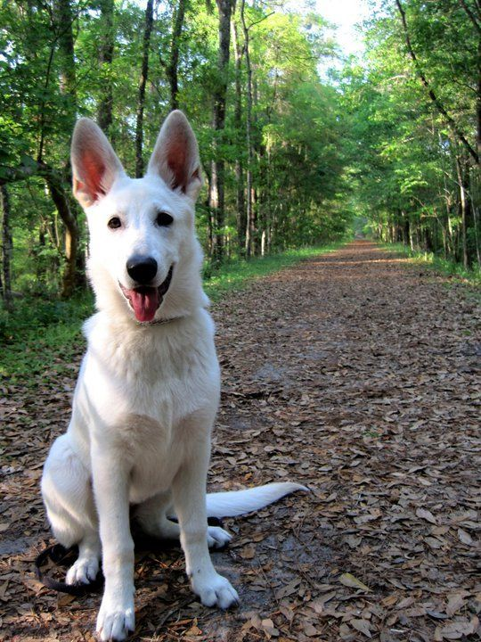 Teach Your Puppy To Walk On A Leash German Shepherd Dogs