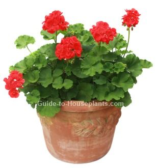 Geranium care tips for growing geraniums indoors and overwinter in containers find out how to - Overwintering geraniums tips ...