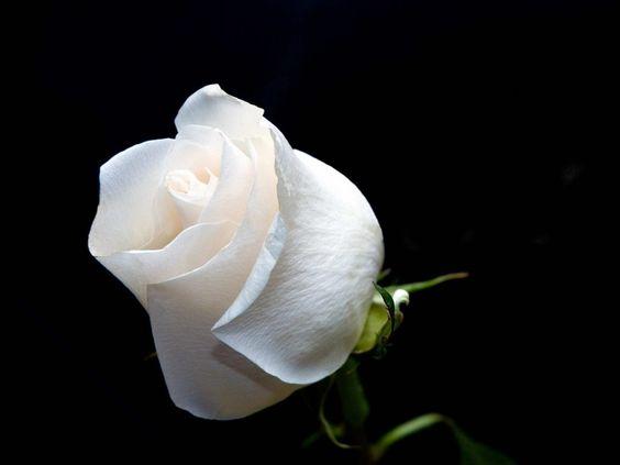 Flor de rosa blanca