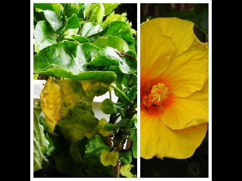 Yellowing Of Hibiscus Leaves Top 5 Reasons And Solutions