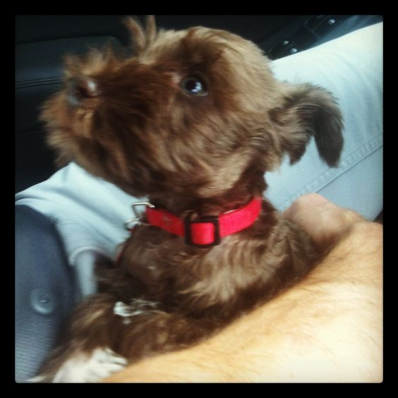 Liver Schnauzer puppy