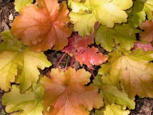 A few varieties of Huechera particularly suited for fall designs include Amber Waves (shown), which has striking amber and orange leaves, and Chocolate Ruffles, with deep burgundy to purple leaves. Heuchera works nicely with strappy grasses and finely textured plants like Solidago or asparagus fern.