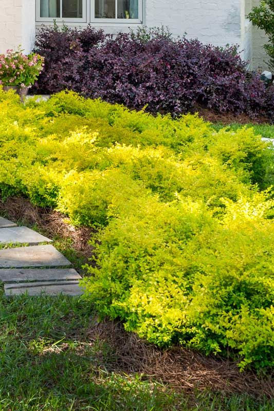 Sunshine Ligustrum Sunset Western Gardens This Old