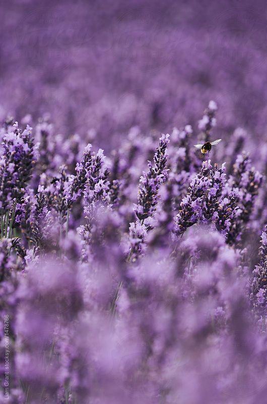 Love And Promises In 2020 Purple Flowers Wallpaper Lavender Aesthetic Flower Aesthetic