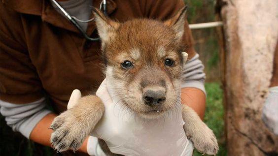 El Centro Ecológico de Sonora (CES) presentó a las nuevas crías, dos machos y una hembra, de lobos grises mexicanos nacidos en cautiverio el pasado 30 de abril en Hermosillo....