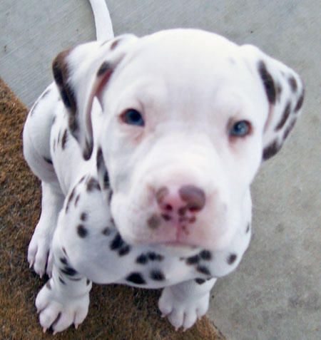 Pitbull Dalmation Mix--OK....THIS will be my next puppy!!