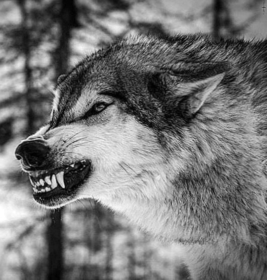 Black Wolf Snarling Wallpapers Wolf Wallpapers Pro Wolf With Blue Eyes Black Wolf Wolf With Red Eyes