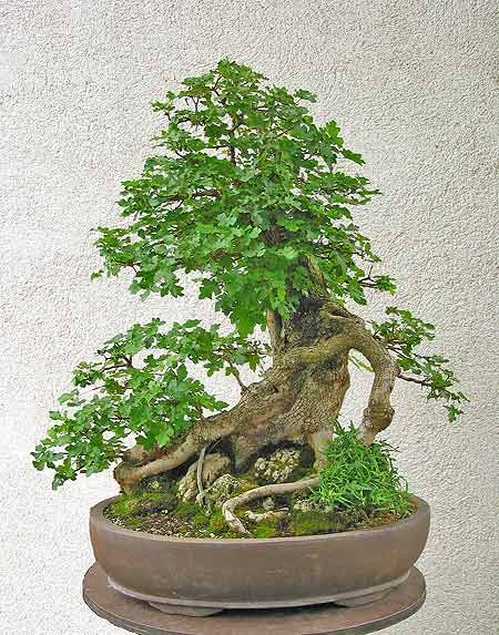 Is it just me or are bonsai trees fricken cool home for Cool bonsai tree