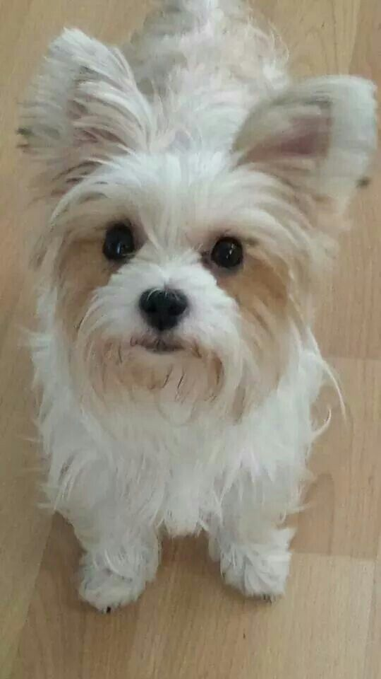 Satin Parti Snowy White Joey Yorkshire Terrier Parti Color
