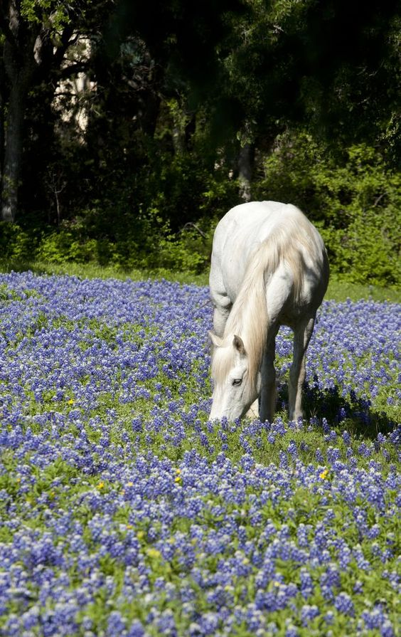 A horse eats grass around a field of bluebonnets Monday morning near Temple Lions Park.   Rusty Schramm/Telegram