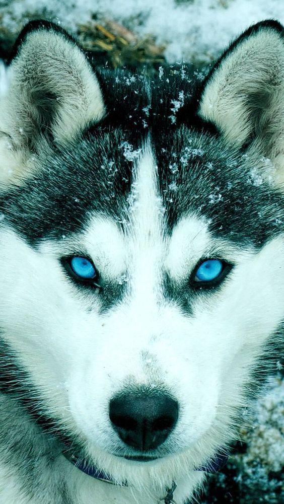 Husky Eyes Cute Husky Puppy Wallpaper Dog Wallpaper
