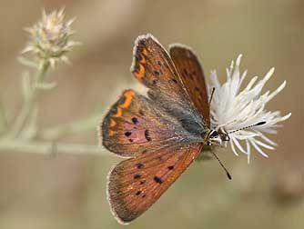 Purplish copper butterfly