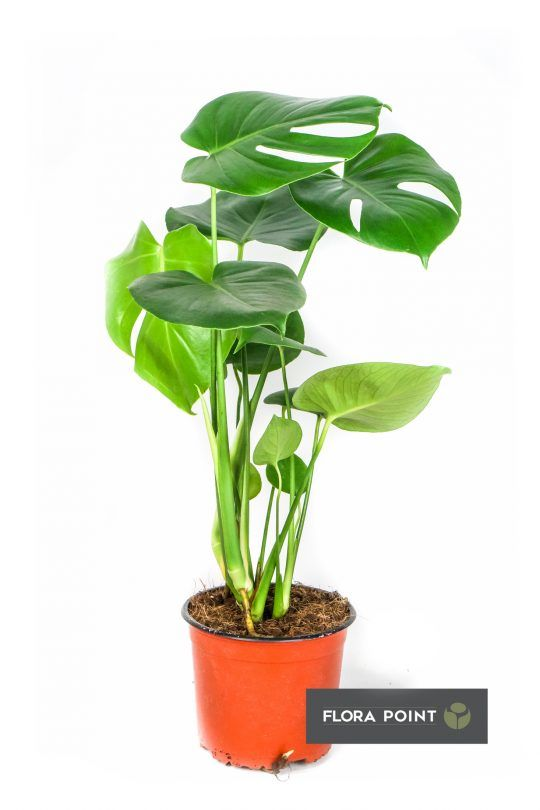 10 Najlepszych Roslin Doniczkowych Do Domu Flora Point Najmodniejsze Rosliny Do Domu I Ogrodu Flora Plants House Plants