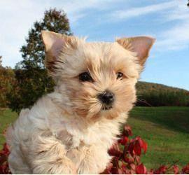 Biewer Golddust Yorkshire Terrier Puppies For Sale Virginia Yorkshireterrier Yorkshireterri Yorkshire Terrier Puppies Yorkshire Terrier Dog Yorkshire Terrier
