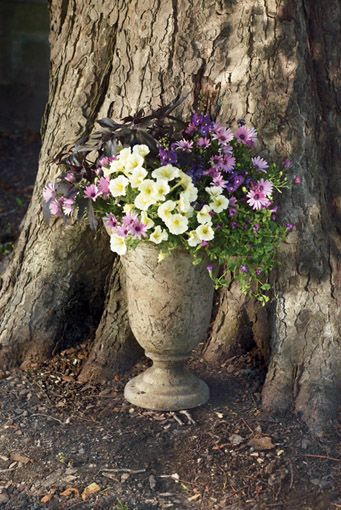Sun Combinations; angelonia, sweet potato vine, pwtunia, torenia and osteospermum
