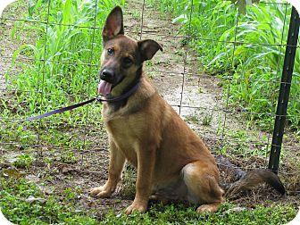 Newburgh, NY - German Shepherd Dog/Blue Heeler Mix. Meet Brock, a puppy for adoption. http://www.adoptapet.com/pet/13063368-newburgh-new-york-german-shepherd-dog-mix