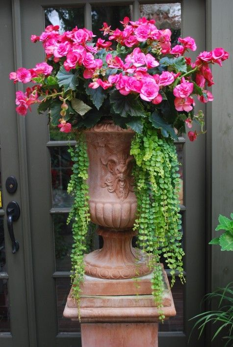 Terracotta Urn with bright pink begonias & creeping jenny