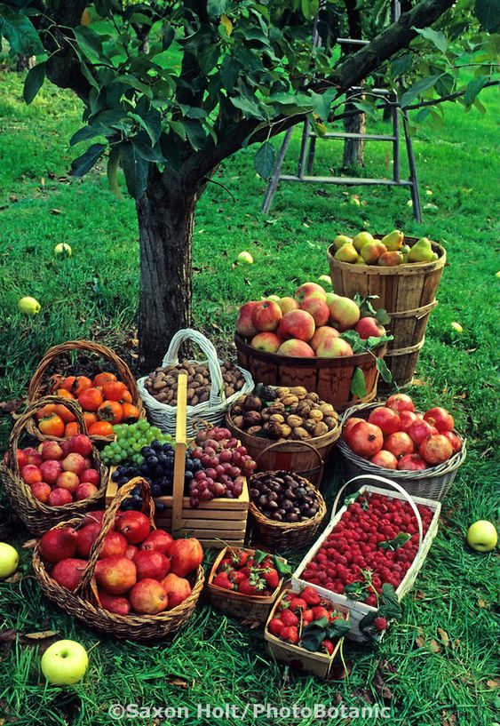 Fall harvest baskets of fruit: apples, grapes, nuts and berries in apple orchard.