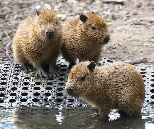 baby capybaras | Animals & Animal Families | Pinterest ...