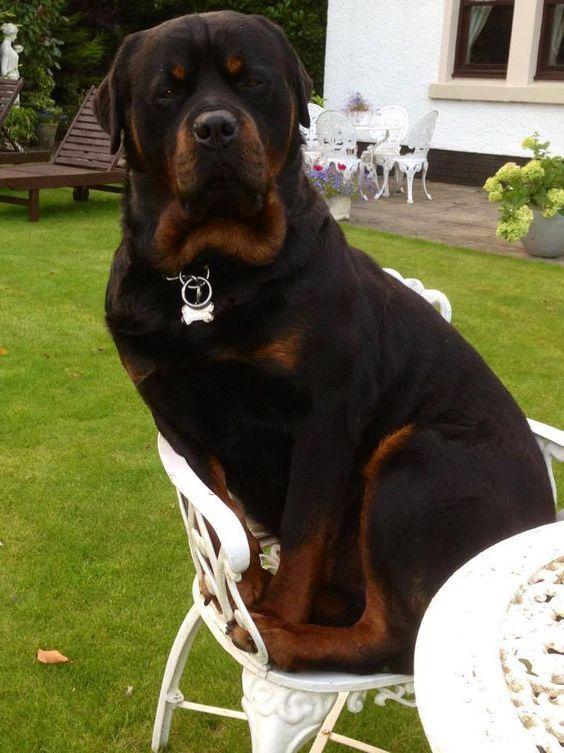 Whudda You Mean I Don T Fit Rottweiler Rottweiler Dog Dog