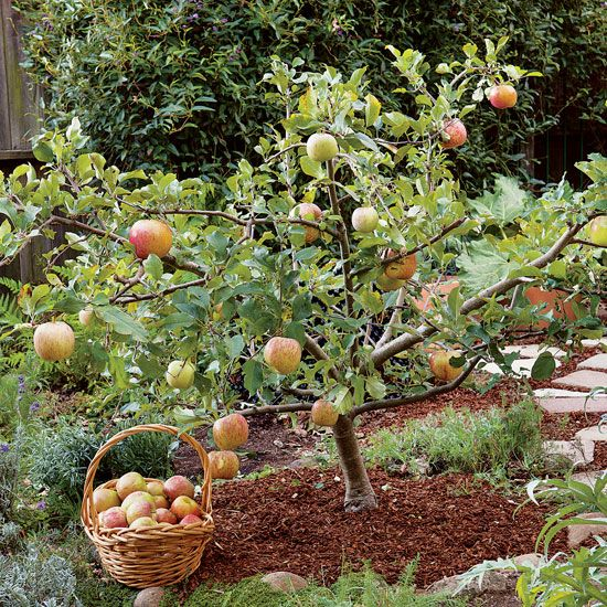 Gardens small fruit trees and fruit trees on pinterest for Trees that stay small