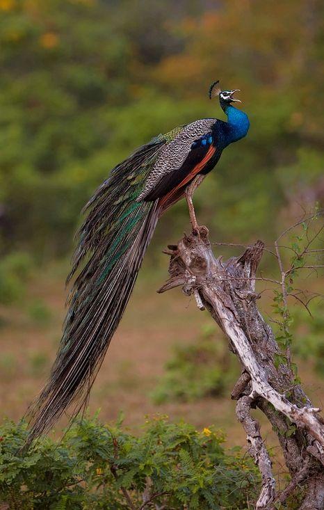 """Wild Peacock"""" by Ignacio Yúfera"""