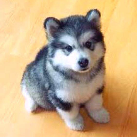 <3 Husky puppy!: Pomeranian Husky, Pomsky Pomeranian, Cute Animal, Future Pet, Puppy, Husky Mix, Adorable Animal