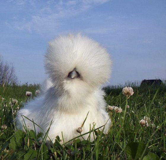 Dandelion Chicken @Tina Neri