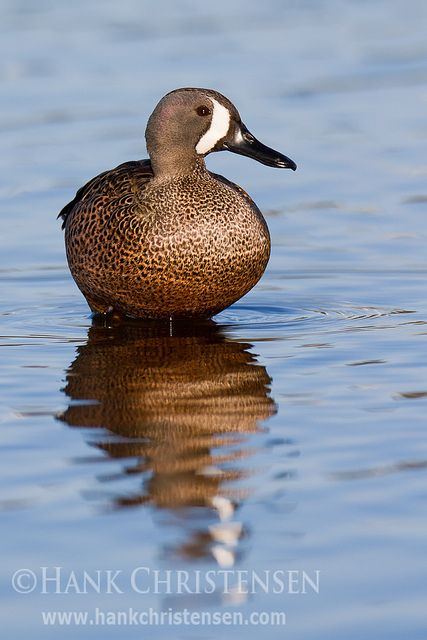 Blue-winged Teal ~Anas discors Clear Lake, July 2002