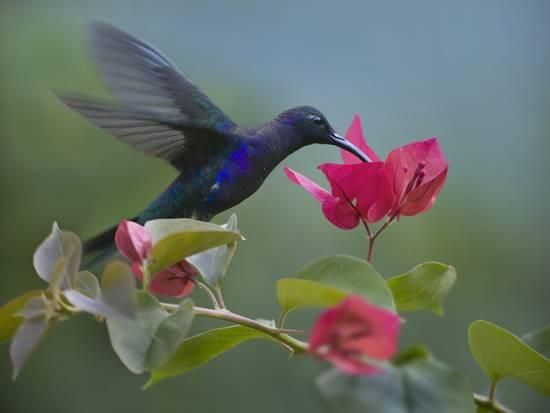 Violet Sabrewing Hummingbird Drinking From A Flower Photographic Print Tim Fitzharris Allposters Com In 2021 Hummingbird Drawing Hummingbird Hummingbird Fountain