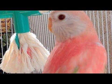 طيور البادجي Youtube Animals Parrot