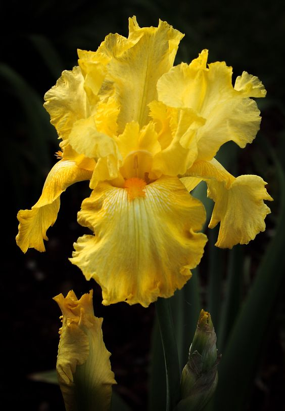 The Kate Lemmon iris - This iris was bread for and named after my grandmother . Kate Lemmon, who loved growing iris.  This image is far better viewed on the black background.