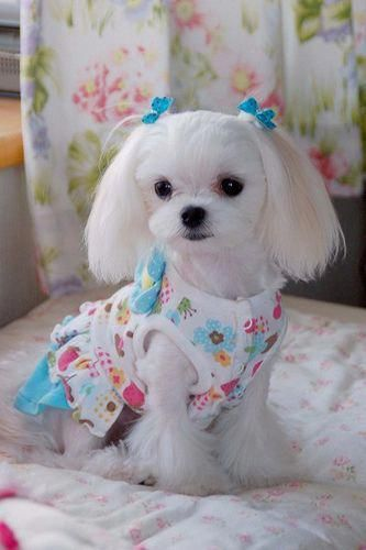 Shih Tzu Affectionate And Playful Cute Baby Animals Maltese