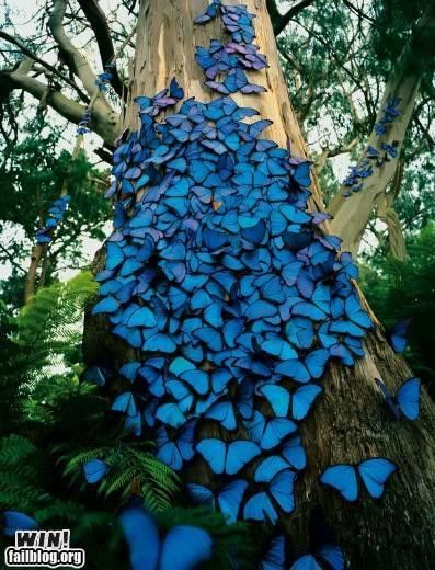 A mass of blue butterflies.  We saw some of these at the Butterfly Gardens in Victoria, B.C.  They're equally beautiful in person.