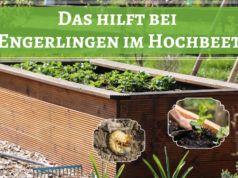 Engerlinge Im Hochbeet Was Tun Woher Kommen Sie Gartendialog De In 2020 Engerlinge Hochbeet Unkraut Entfernen