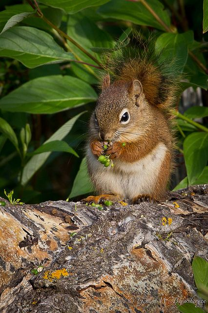 Red Squirrel - seriously loves squirrels