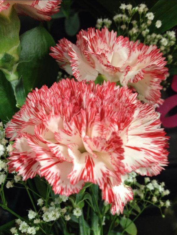 Flowers Carnations Mother S Day Mother S Day Gifts Potted Plants Meaningful Flower Carnation Growing Carnat Carnation Flower Carnations Beautiful Flowers