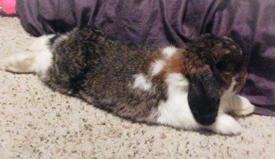 Pebbles, The holland lop bunny rabbit