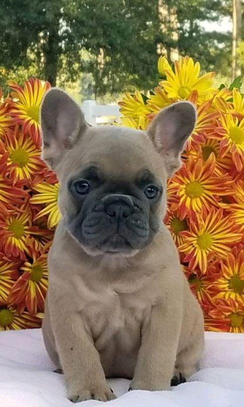 French Bulldog Puppy Bulldog Puppies French Bulldog Puppy