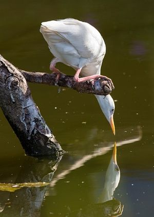 """<strong>Narcissistic egret</strong><br>This picture is about meeting yourself, a Narcissus like encounter shot in St Lucia<br>Photograph: <a href=""""https://witness.theguardian.com/assignment/56166dfae4b00a8347dbb4c1/1754816"""">MichaelMcKinnon/GuardianWitness</a>"""