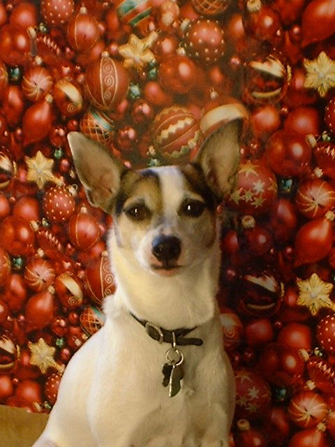 Pictures of Rat Terrier Dog Breed