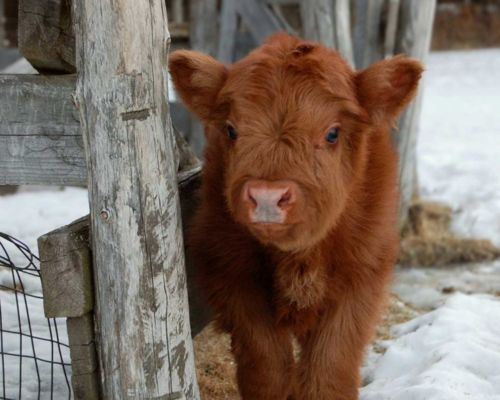 Baby Fluffy Cow | cow # cows # mama cow # calf