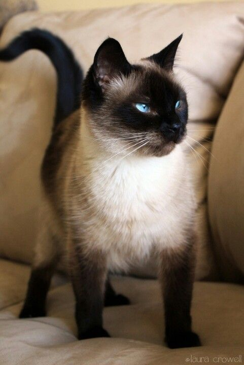 ♥ Siamese kitten ♡ looks like Muffin.... No, looks like my boy Simon. - Spoil your kitty at www.coolcattreehouse.com