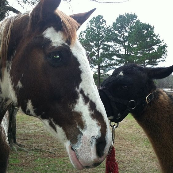 #llamakisses. #hopethruhorses  Liberty loves Llouise kisses